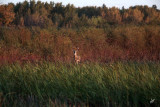 IMG_9696 Fall Deer at Big Lake Sept 20