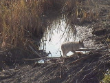 coyote on beaver dam