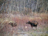 2011_10_18 Moose Arrivals