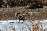 2011_10_25 Bald Eagle on Big Lake
