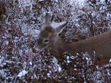 2011_11_12 Deer on Webcam