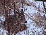 2011_12_04 Just Resting Deer