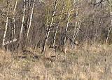Pregnant Deer capture by Elke