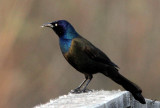 IMG_9058 Grackle at Big Lake, May 7