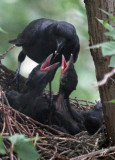 2012_05_17 Crow Family Feeding
