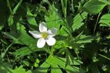 IMG_4213 Canada anemone or windflower found walking near webcam, Jun 17