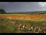 Poppy field  WALL 8