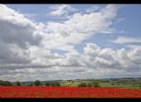 Poppy field 5
