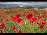 Poppy field 24