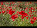 Poppy field 15v2