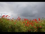 Poppy field 9