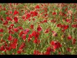 Poppy field 26