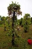 Diseased black pepper plant. March, 2011 IMG_3675.jpg