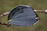 Diseased black pepper plant leaf. March, 2011 IMG_3677.jpg