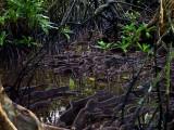 Mangrove roots, Sokehs Island. L1017722.jpg