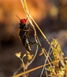 Iron Cross blister beetle IMG_7505.jpg