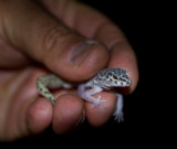 Tucson banded gecko. Not so common any longer. IMG_7546.jpg