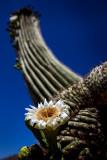 Saguaro Cactus bloom. Tortolita Mountains, Tucson, AZ. IMG_1319.jpg