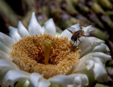 Saguaro cactus flower and hover fly. IMG_1286.jpg