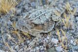 Regal Horned Lizard.  6 inches long! IMG_7885.jpg