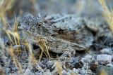 Regal Horned Lizard. IMG_7888.jpg