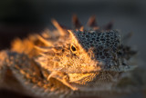 Regal Horned Lizard. IMG_7902.jpg