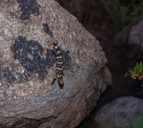 Baby Reticulated Gila Monster (Heloderma suspectum). IMG_8424.jpg