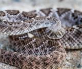 Western Diamondback Rattlesnake. Crotalus atrox IMG_8709.jpg