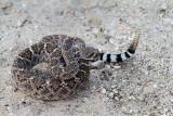 Western Diamondback Rattlesnake. Crotalus atrox  IMG_8721.jpg