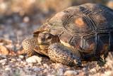 Desert Tortoise emerging after the monsoons. IMG_8758.jpg