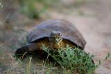 Desert Tortoise disturbed while eating. IMG_8918.jpg