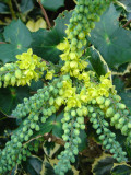 Mahonia 'Apollo'