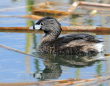Grebe, Pied-billed