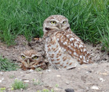 Owls, Burrowing,  4-17-2011