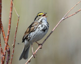 Sparrow, Savannah