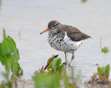 Sandpiper, Spotted
