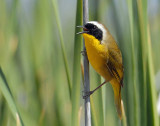 Yellowthroat, Common--2011