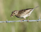 Sparrow, Savanah