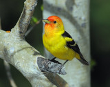 Tanager, Western