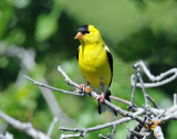 Goldfinch, American