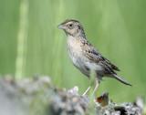 Sparrow, Grasshopper (Adult)