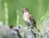 Sparrow, Grasshopper (Juvenile)