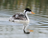 Grebe, Clark's (Shared Responsibilities)