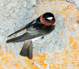 Swallow, Cliff