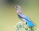 Bluebird, Mountain (Juvenile)