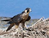 Falcon, Peregrine (Juvenile)