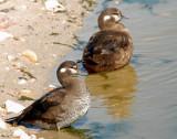 Ducks, Harlequin (Female & Juvenile)