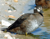 Duck, Harlequin (Juvenile)