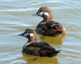 Ducks, Harlequin (Female and Juvenile)
