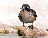 Harlequin Duck (First year male) 11-01-2011